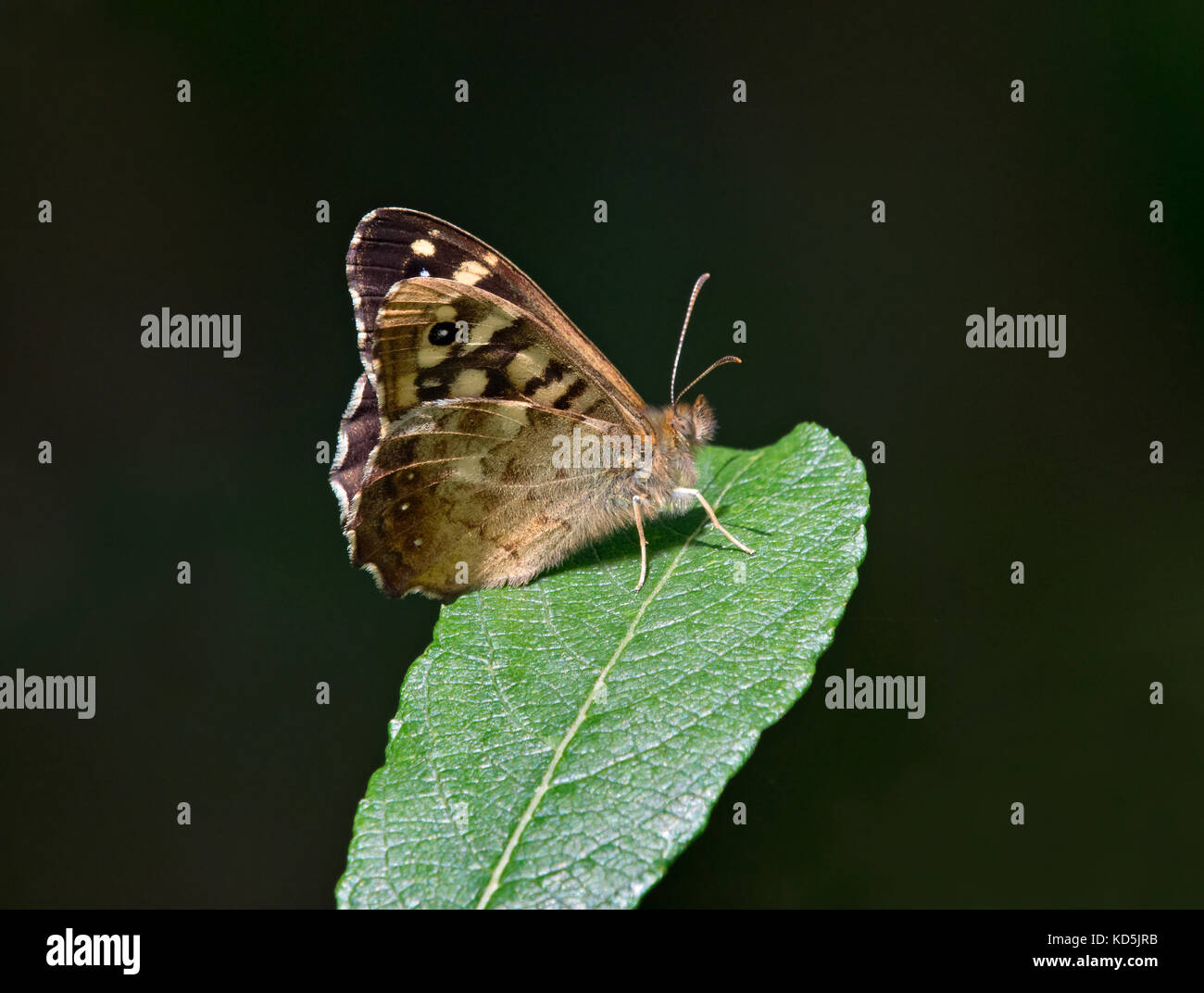 speckled wood butterfly, Pararge aegeria, resting on leaf with soft focus background, Dorset, UK - Stock Image