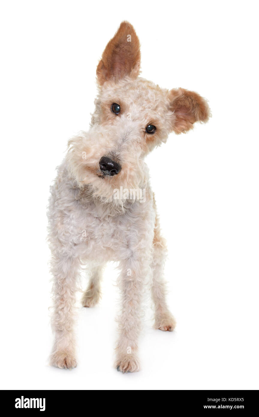 female fox terrier in front of white background Stock Photo ...