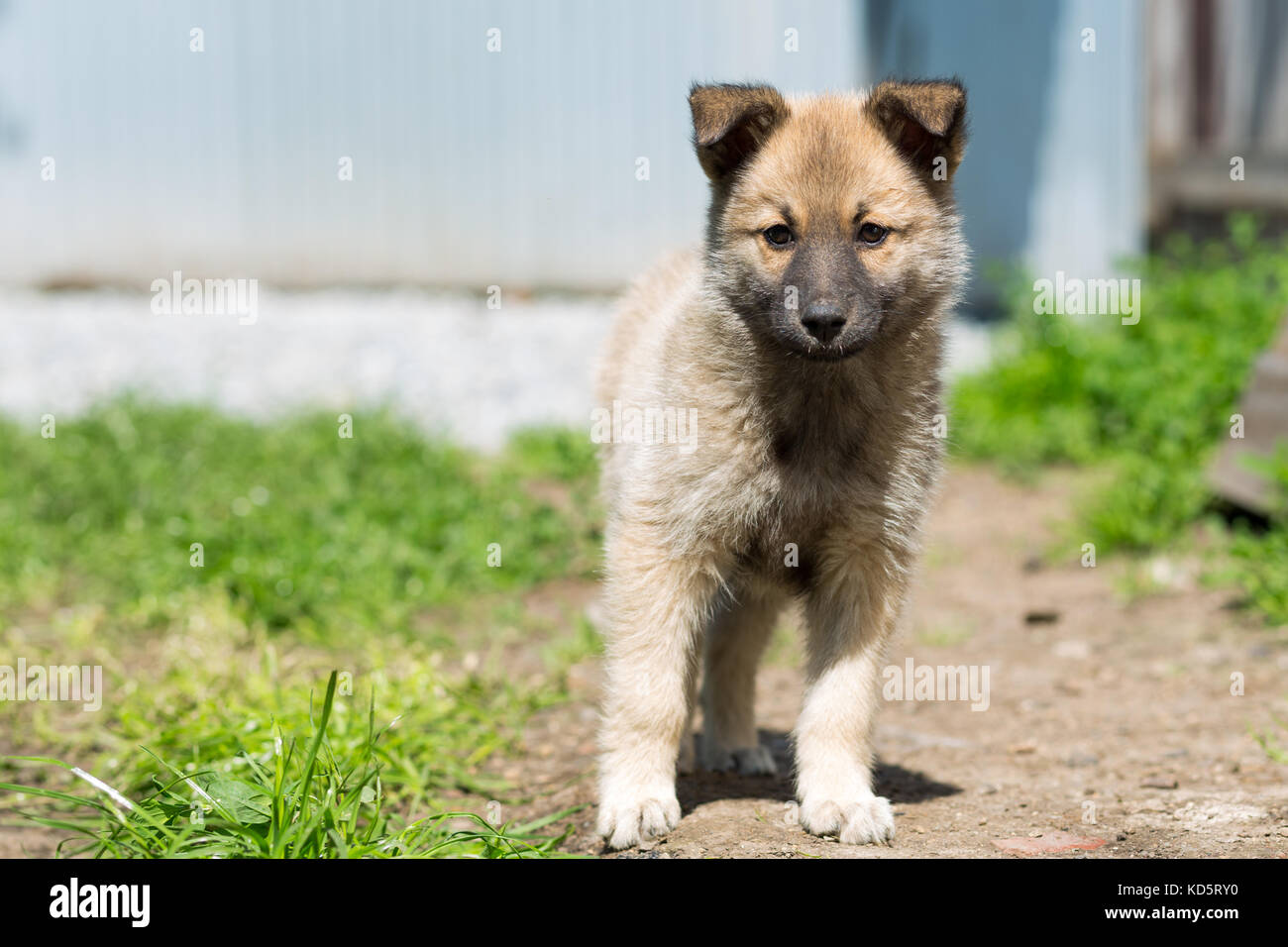 non-pedigree pale-colored puppy stands on a path - Stock Image