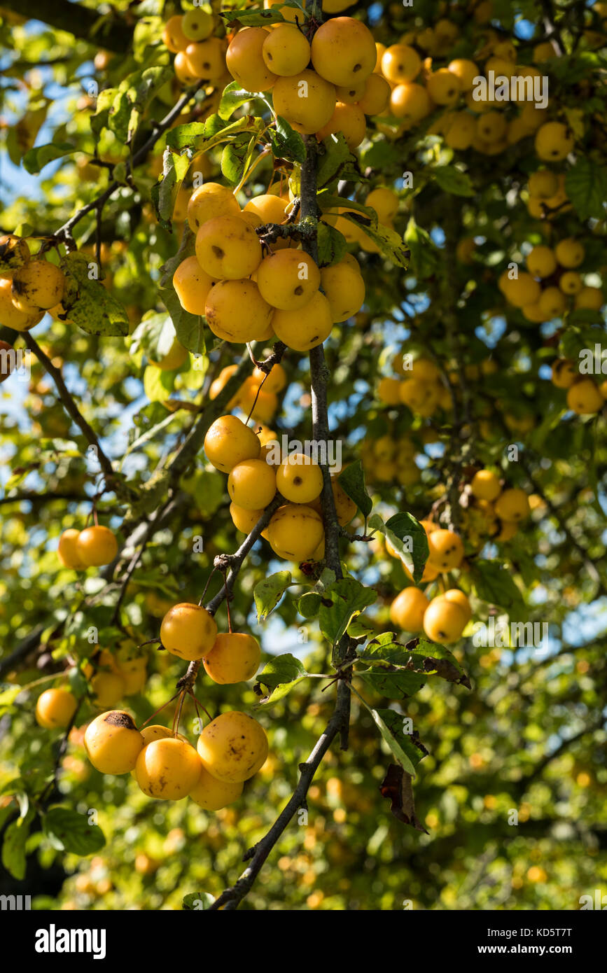 Malus Butterball, rosaceae, Crab Apple, yellow fruits. - Stock Image