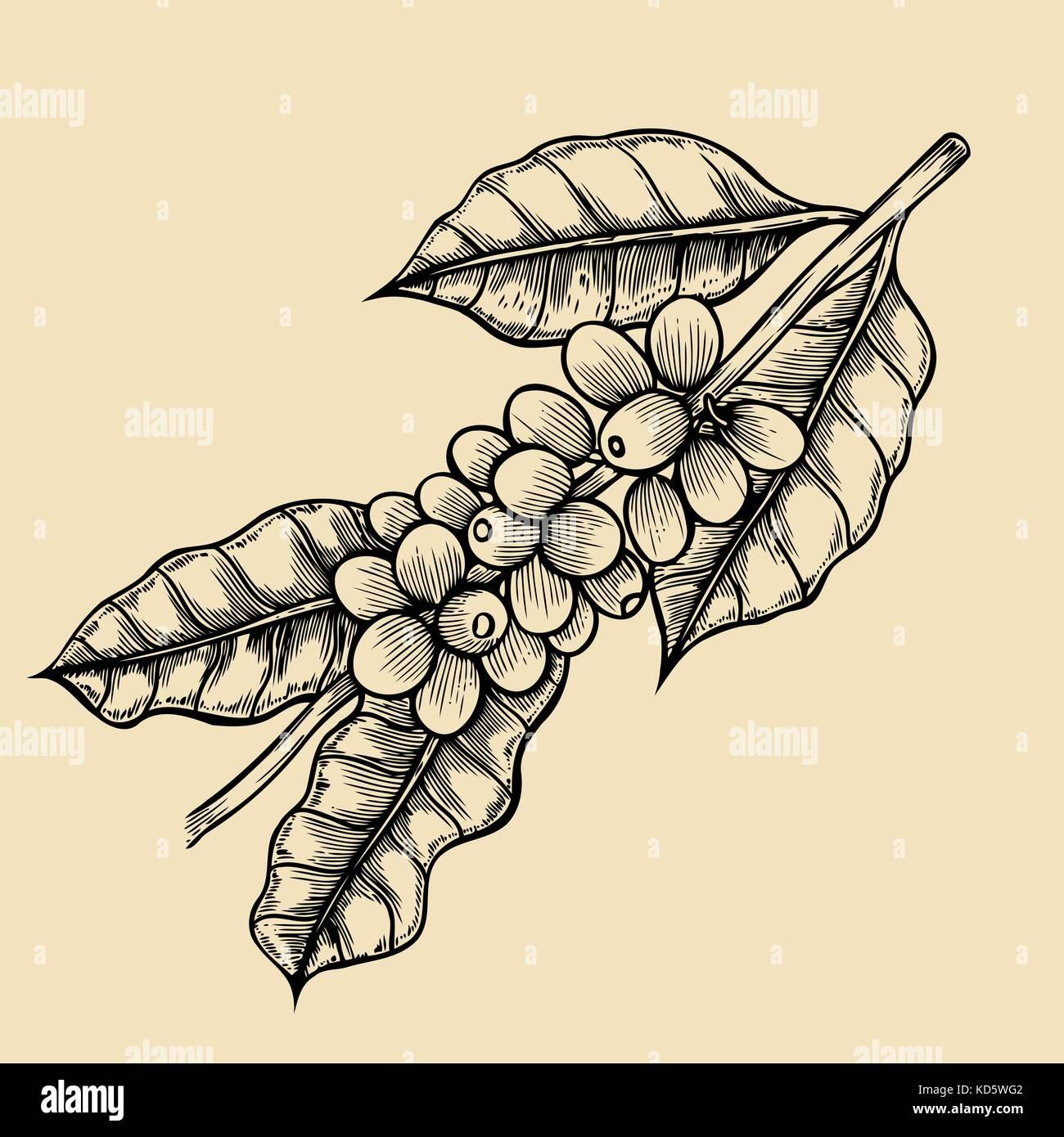 Coffee tree illustration - Stock Vector