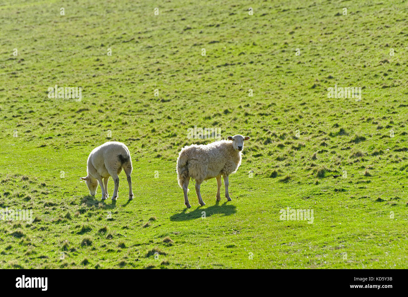 TWO SHEEP IN A FIELD IN DEVON ENGLAND UK - Stock Image