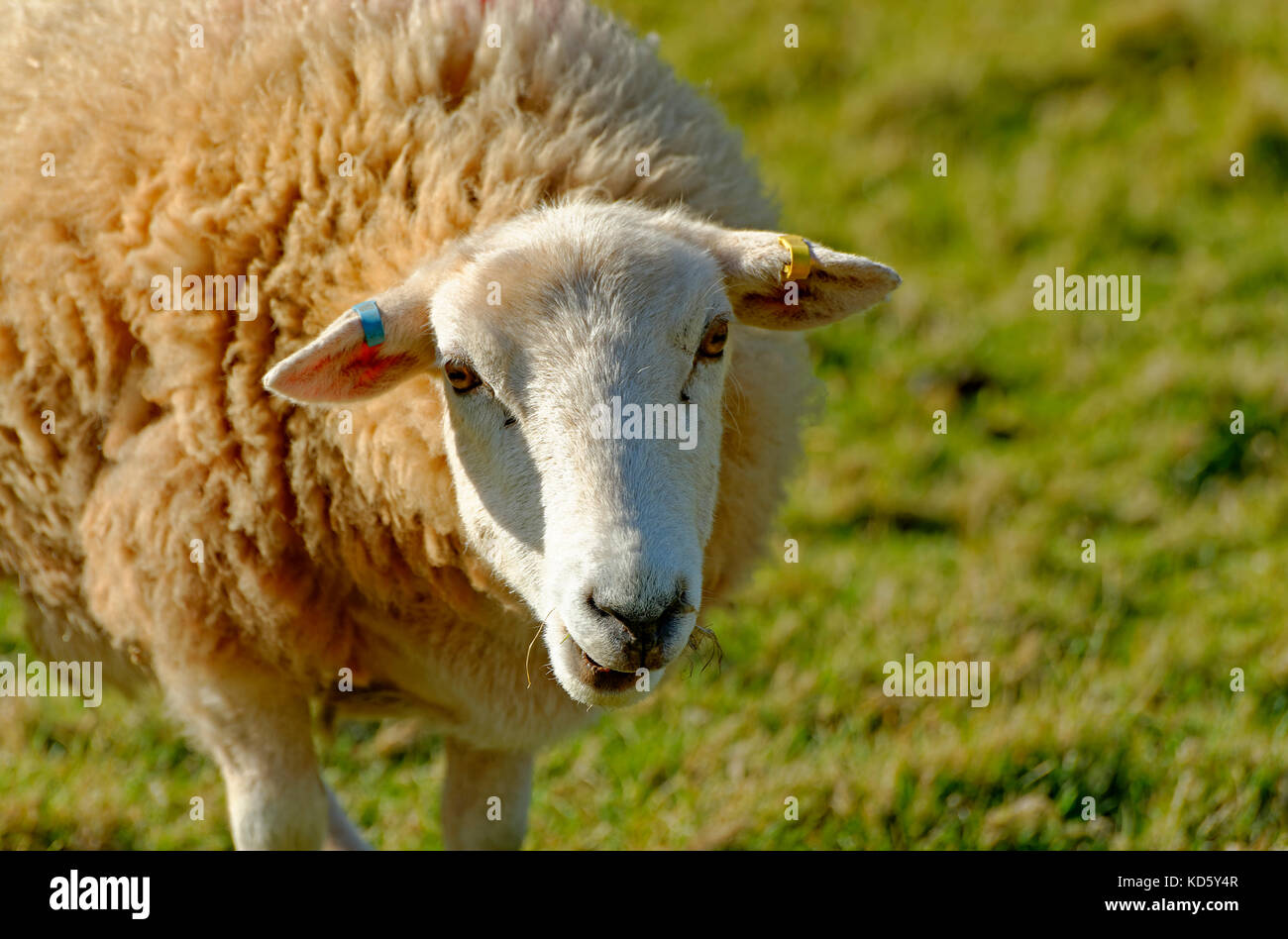 CLOSE UP OF A SHEEP IN DEVON ENGLAND UK - Stock Image