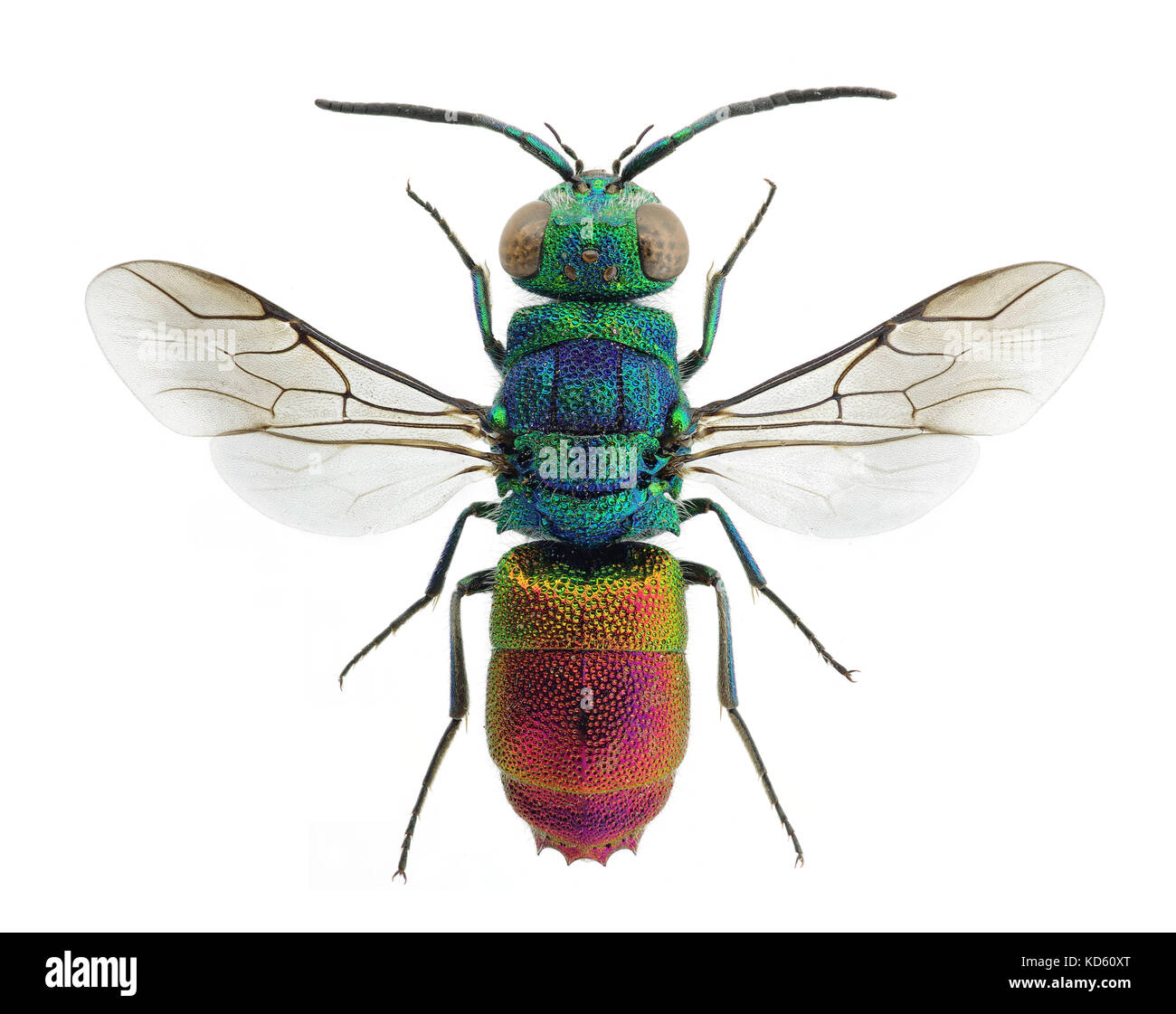 Beautiful cuckoo wasp Chrysis comta, from Europe - Stock Image