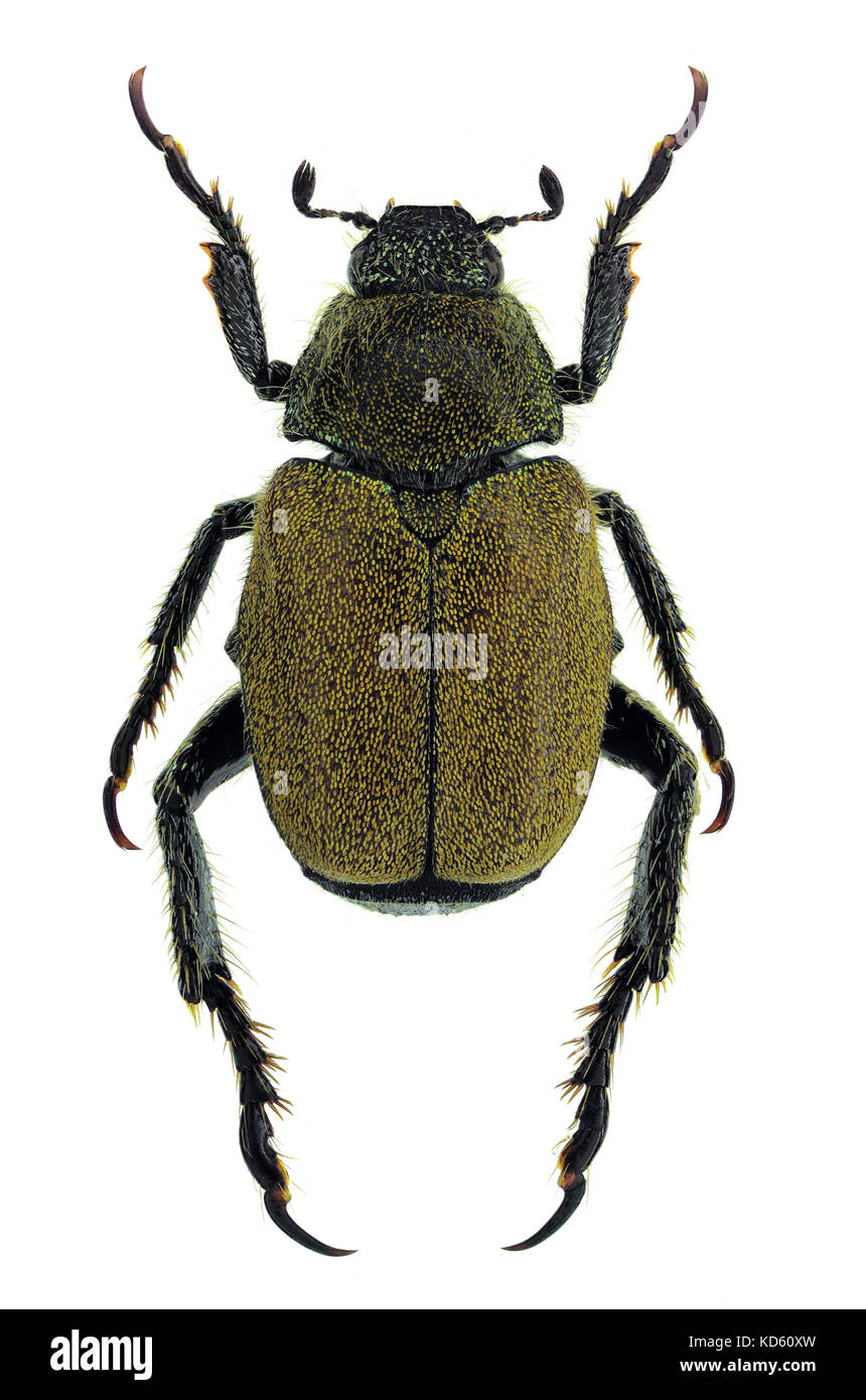 Hoplia meridiana, a recently discovered species of Chafer from southern Italy - Stock Image