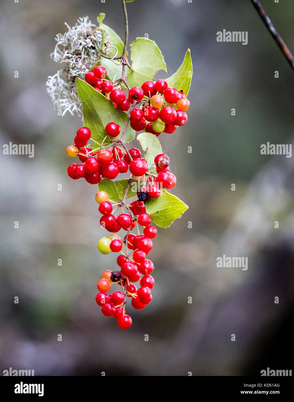 Scarlet berries of black bryony Tamus communis hanging from a tree branches on the island of Ithaka in Greece - Stock Image