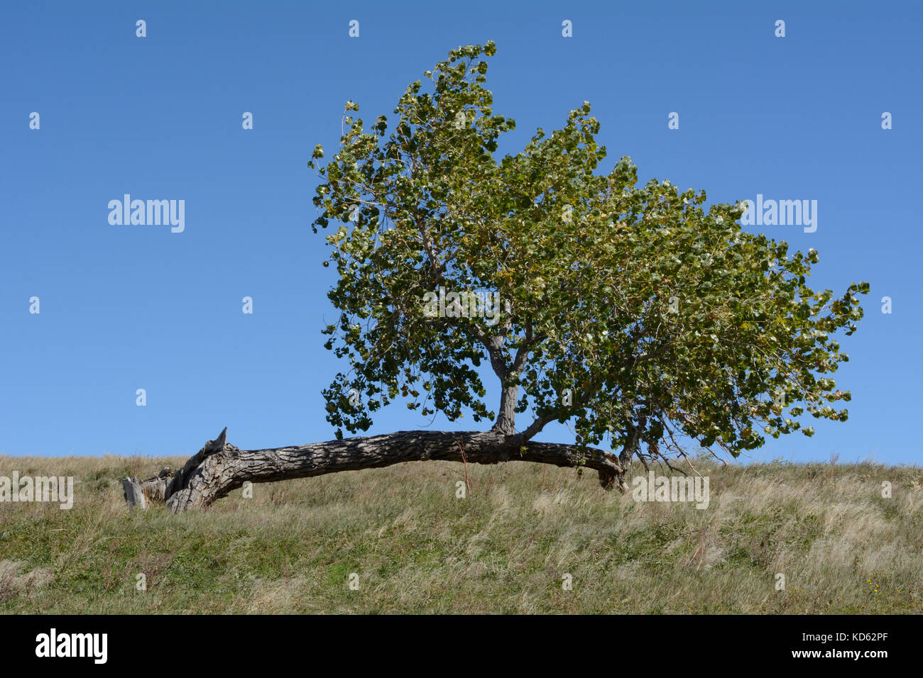 Lone damaged tree trunk on hill with branches growing upward from new trunk growing off to the side Stock Photo