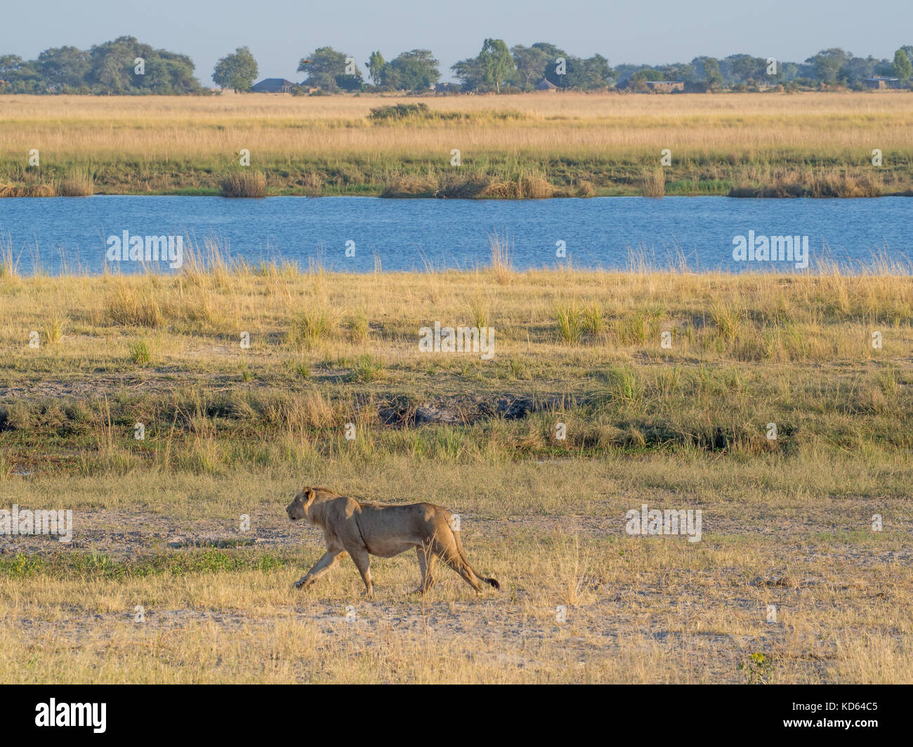 Female lione walking along bank of Chobe River with human settlement in background on Namibian side, Chobe National - Stock Image