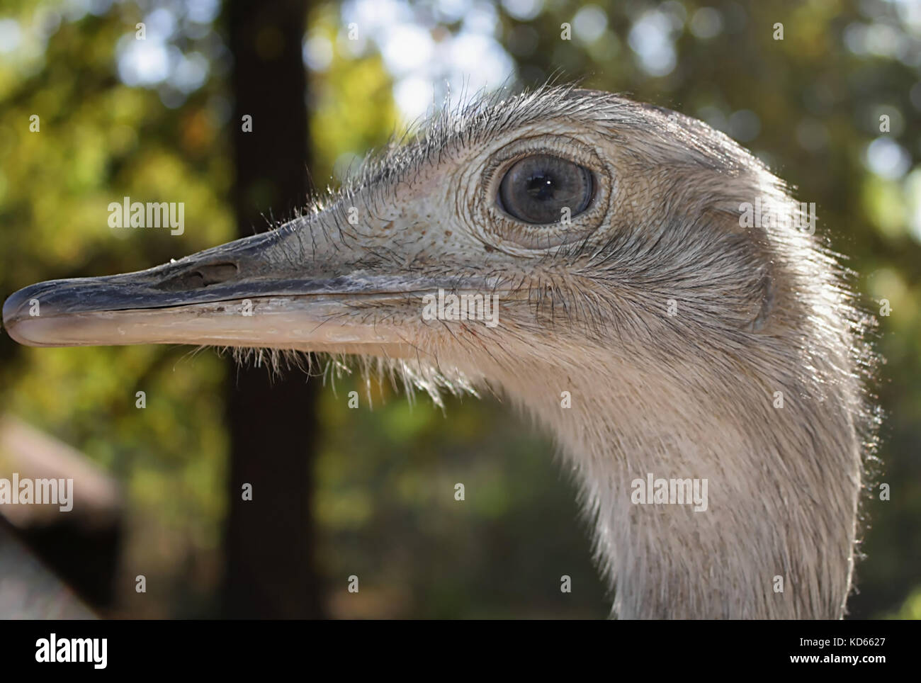 Ostrich (3) - Stock Image