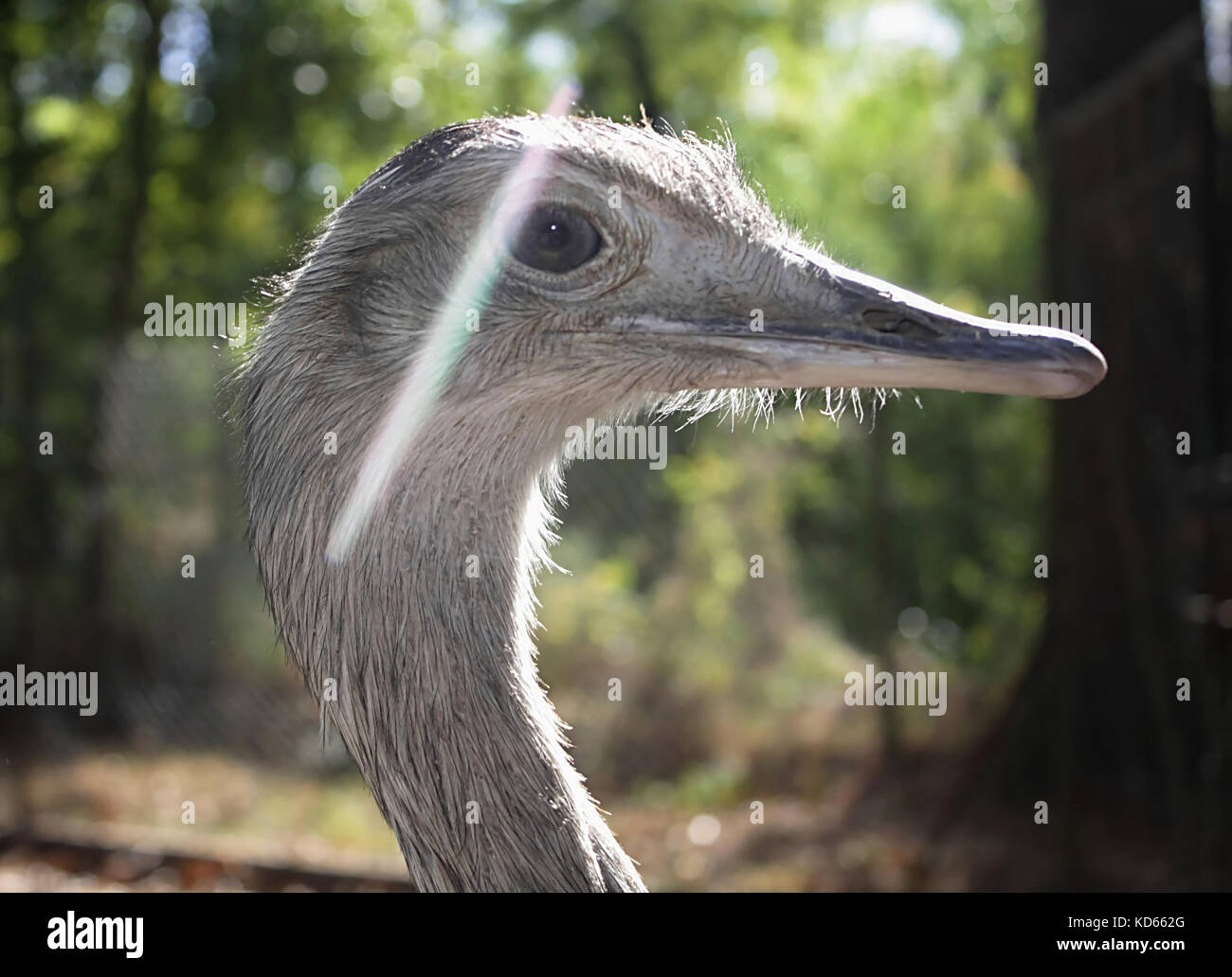 Ostrich (4) - Stock Image