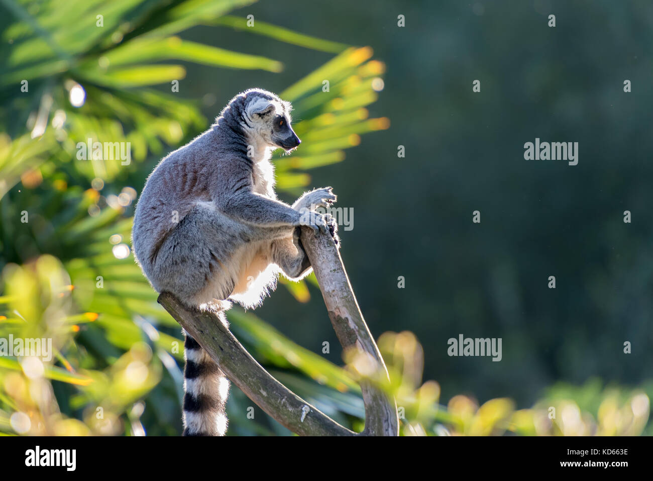 Lemur maki catta of Madagascaer sitted on a tree's branch, backlight lighting - Stock Image