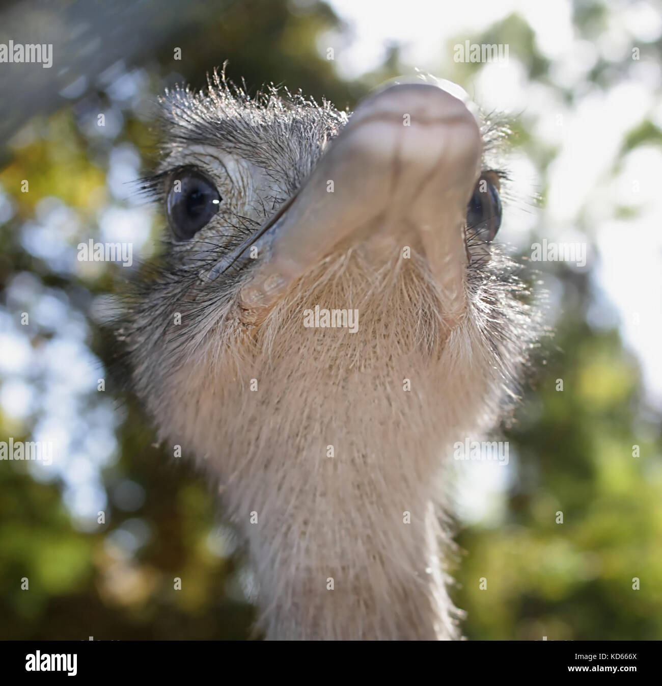 Ostrich (1) - Stock Image