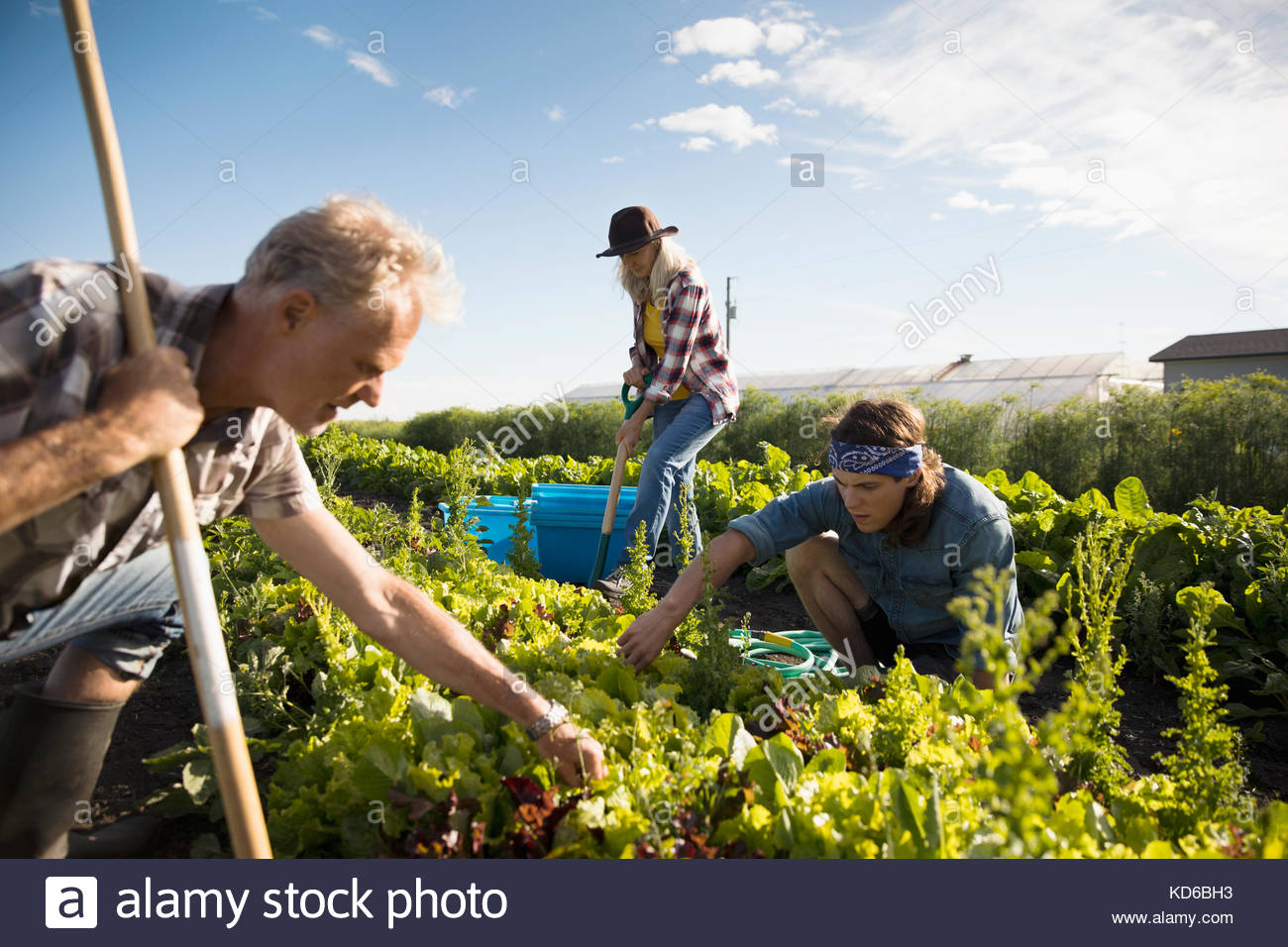 Farmers working in vegetable crop on sunny farm Stock Photo