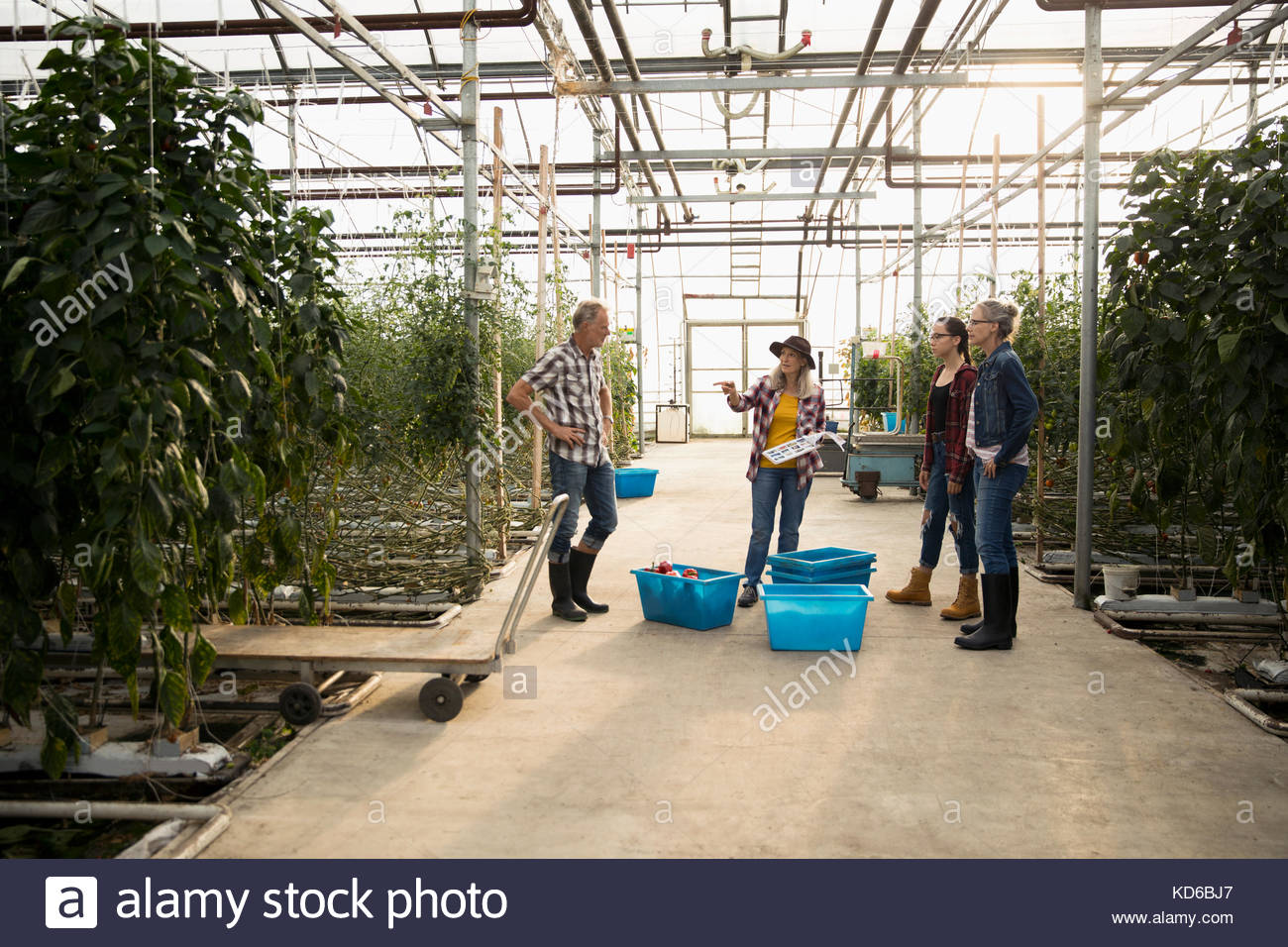 Farmers talking, harvesting vegetables in greenhouse - Stock Image