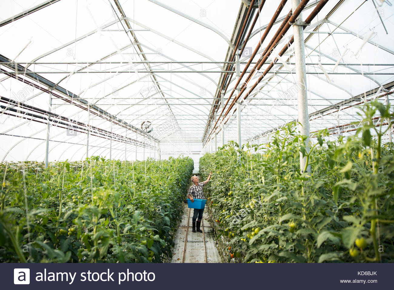 Male farmer inspecting tomato plants in greenhouse - Stock Image