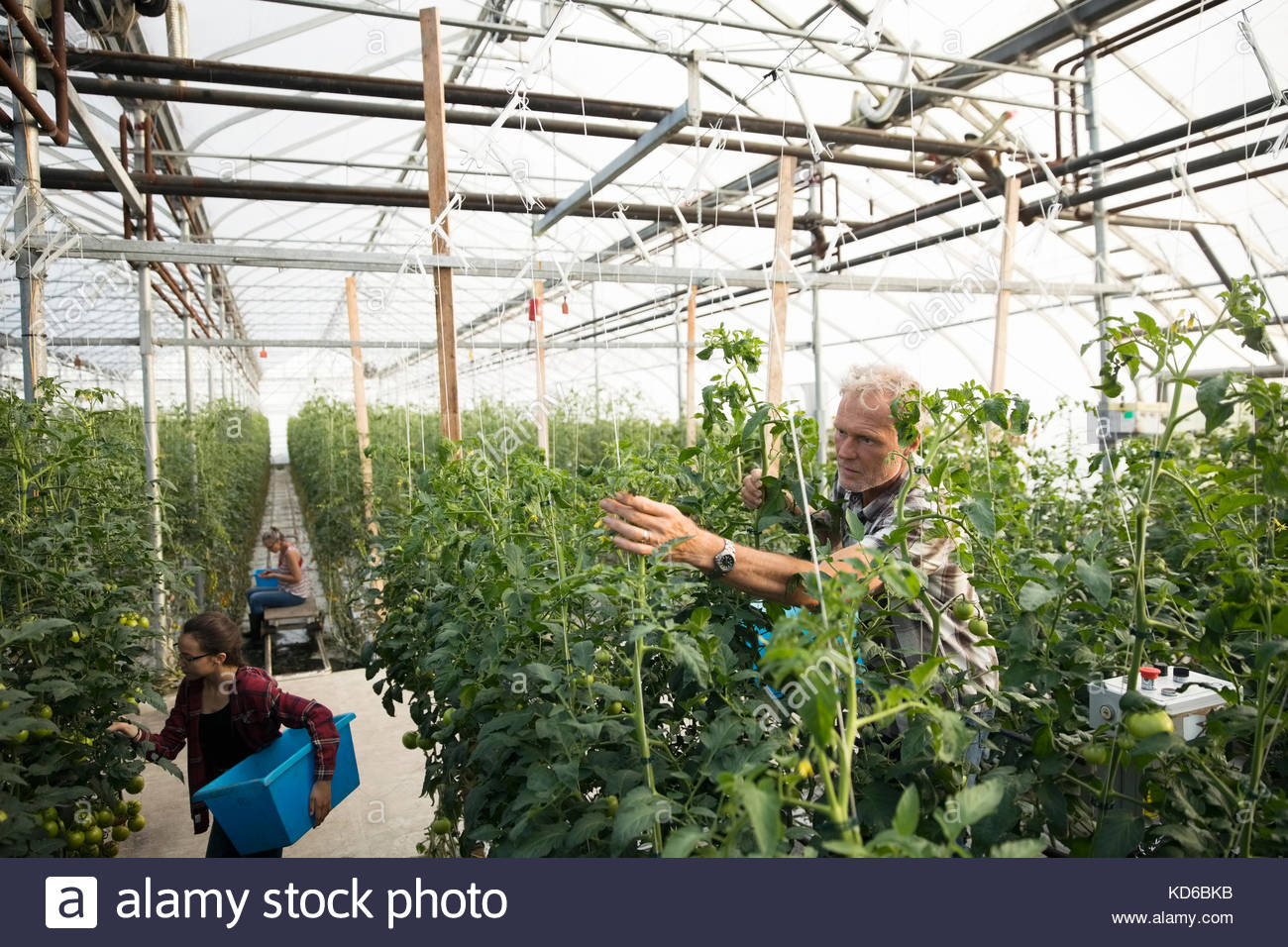 Farmers harvesting tomatoes in greenhouse - Stock Image