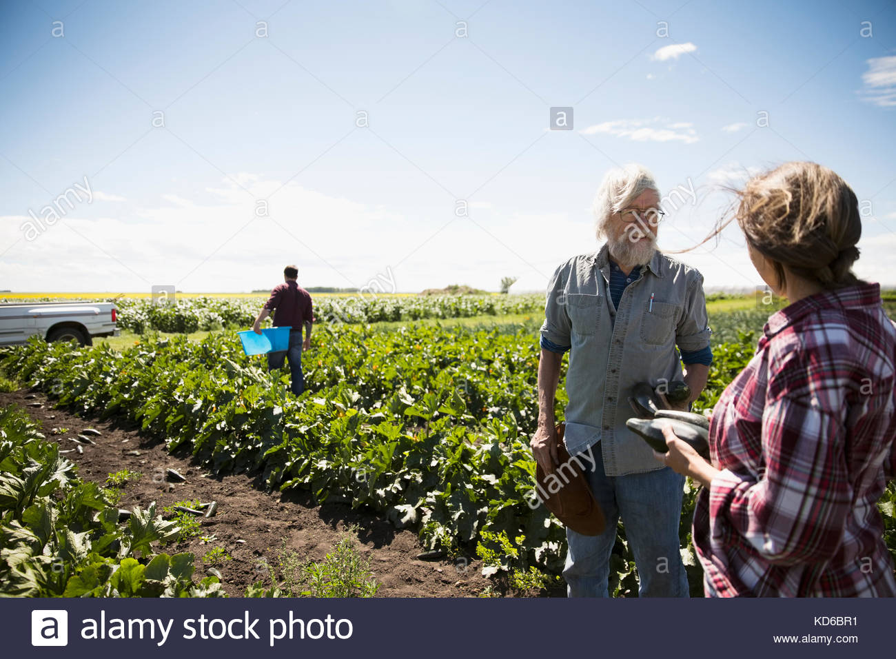 Farmers talking, harvesting zucchini in crop on sunny farm Stock Photo