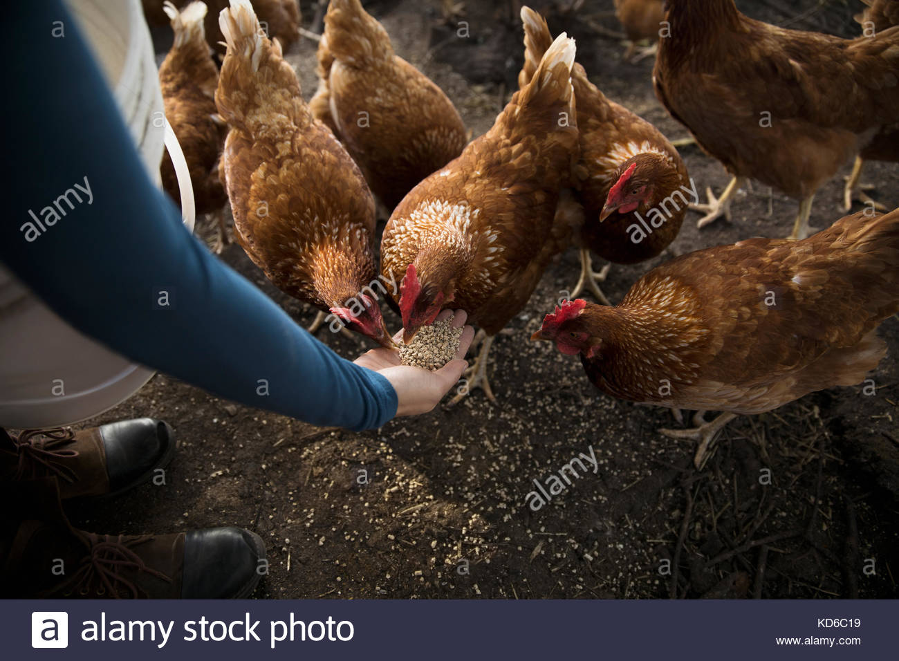 Female farmer feeding chickens from hand in chicken coop - Stock Image