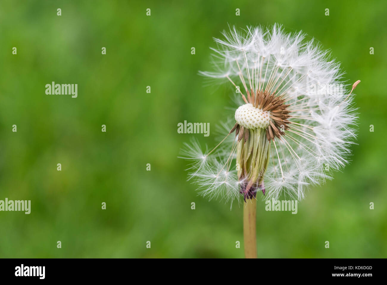 close up of an incomplete dandelion. - Stock Image