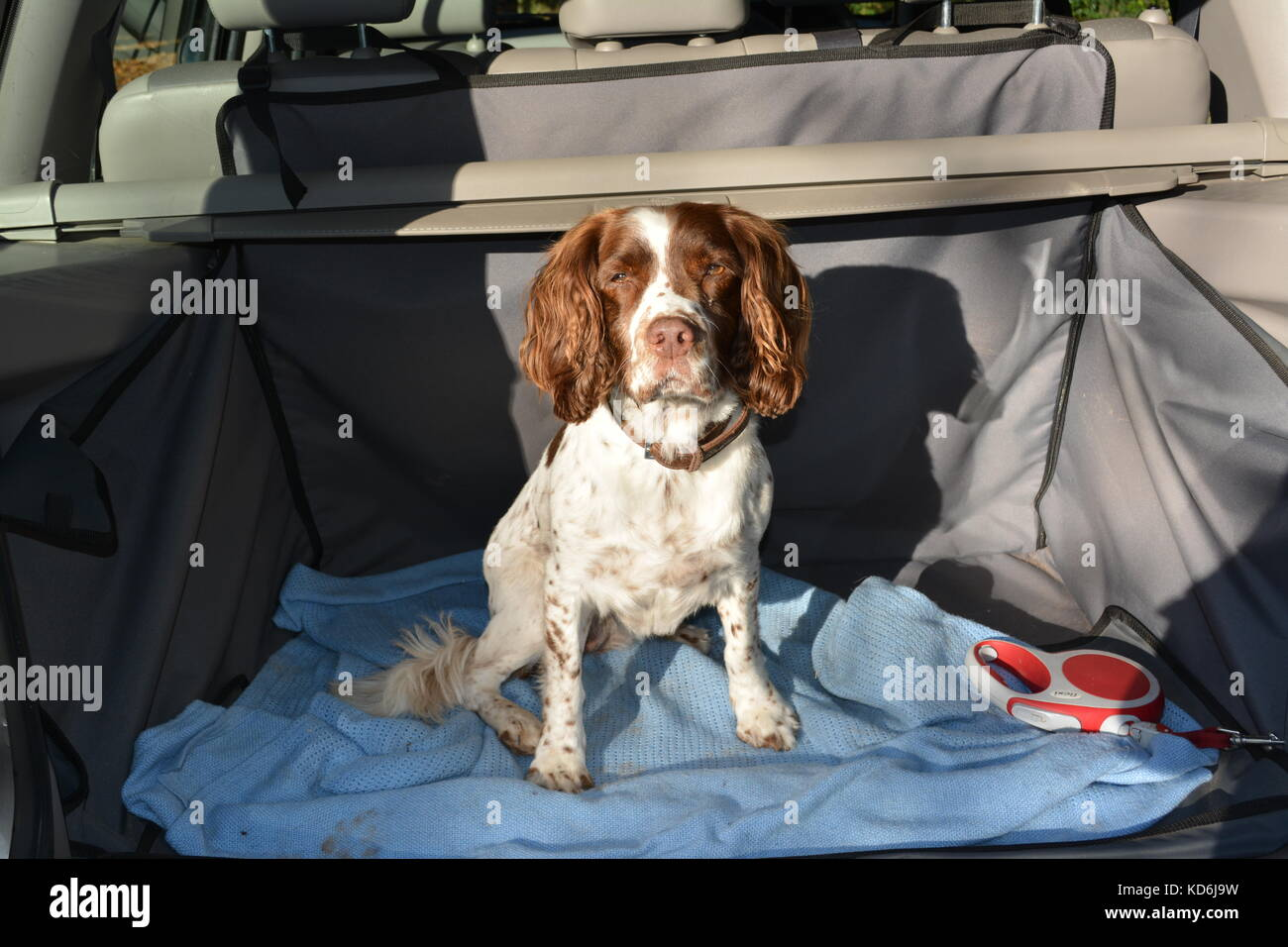 English Springer Spaniel dog sitting in back of Land Rover SUV 4x4 vehicle car on blanket and waterproof boot lining - Stock Image
