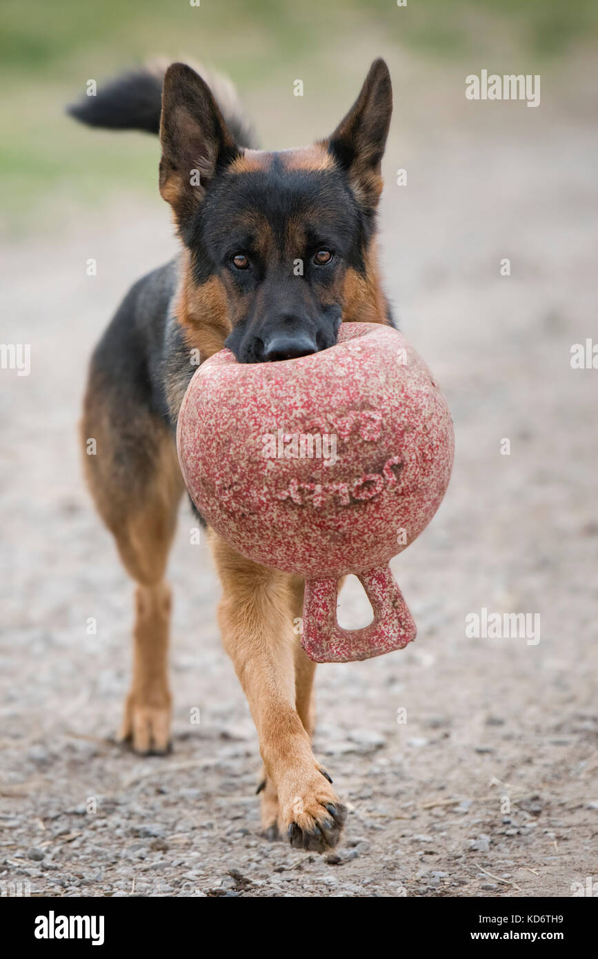 A German Shepard dog carrying a jolly ball in its mouth. - Stock Image