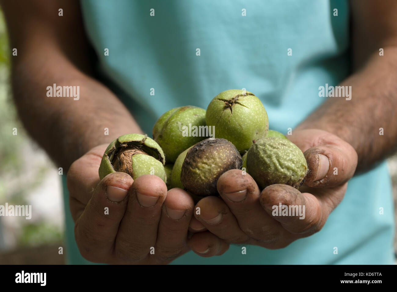 Uncleaned green walnuts in the hands of a farmer closeup horizontal - Stock Image