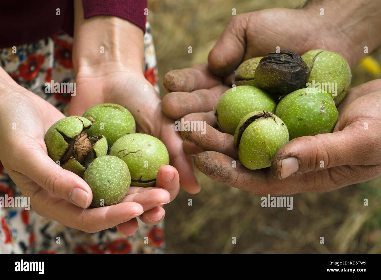 Green unpeeled walnuts in the hands of farmers top view horizontal - Stock Image