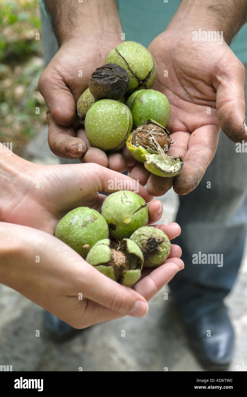 Green unpeeled walnuts in the hands of farmers side view vertical - Stock Image