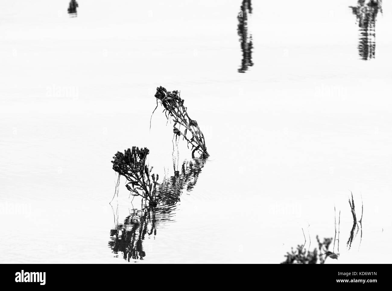Black and White silhouettes of Sea Aster against a calm sea - Stock Image