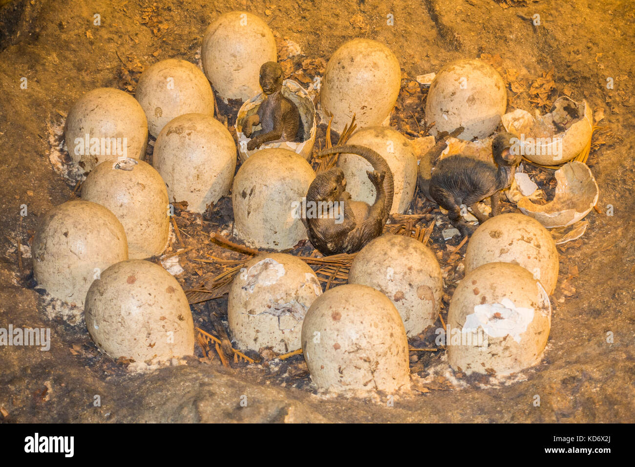 A realistic mockup / replication of dinosaur eggs hatching in a nest at the Natural History Museum, Kensington, - Stock Image