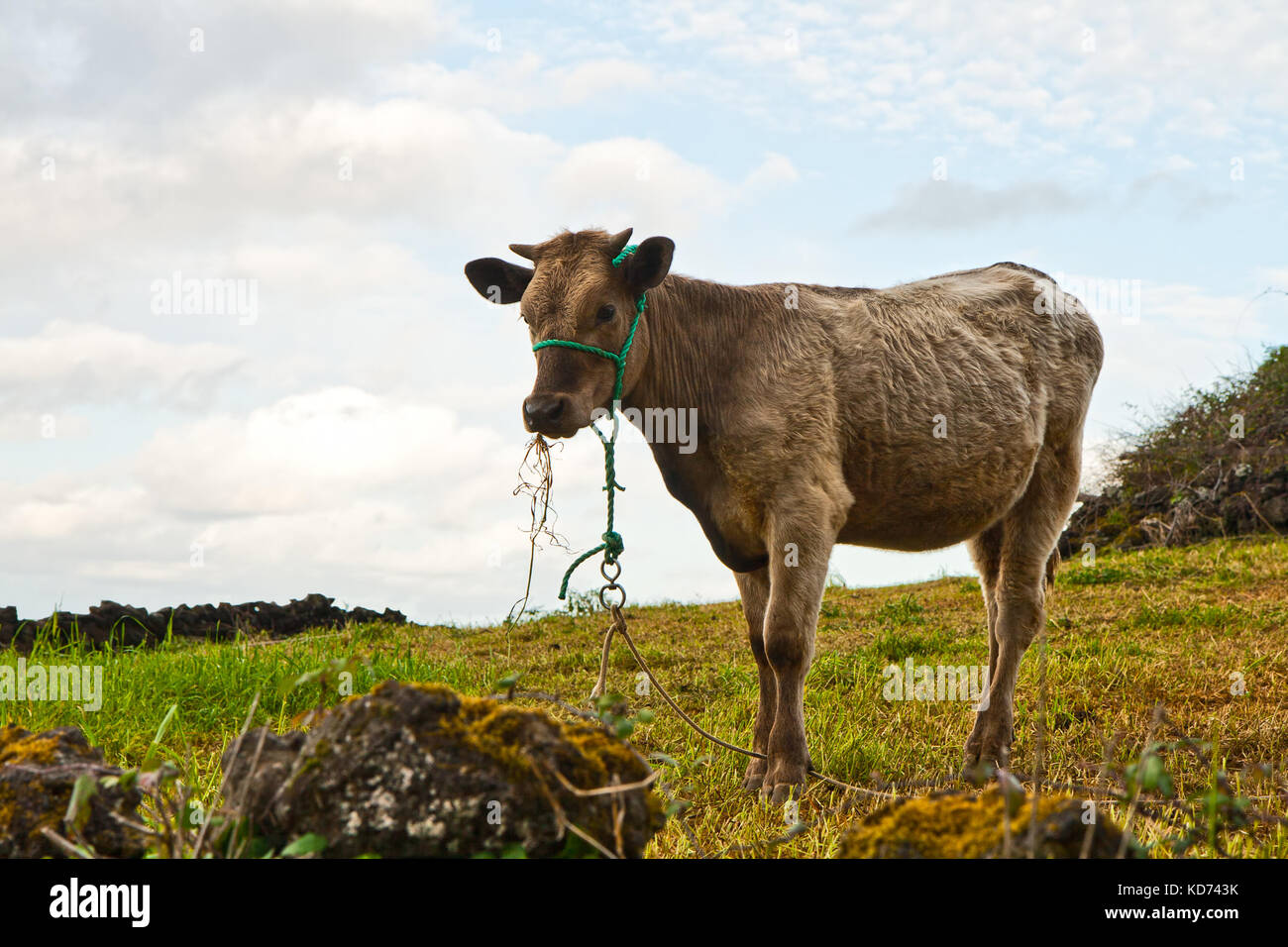 The calf eats a grass against the sky - Stock Image