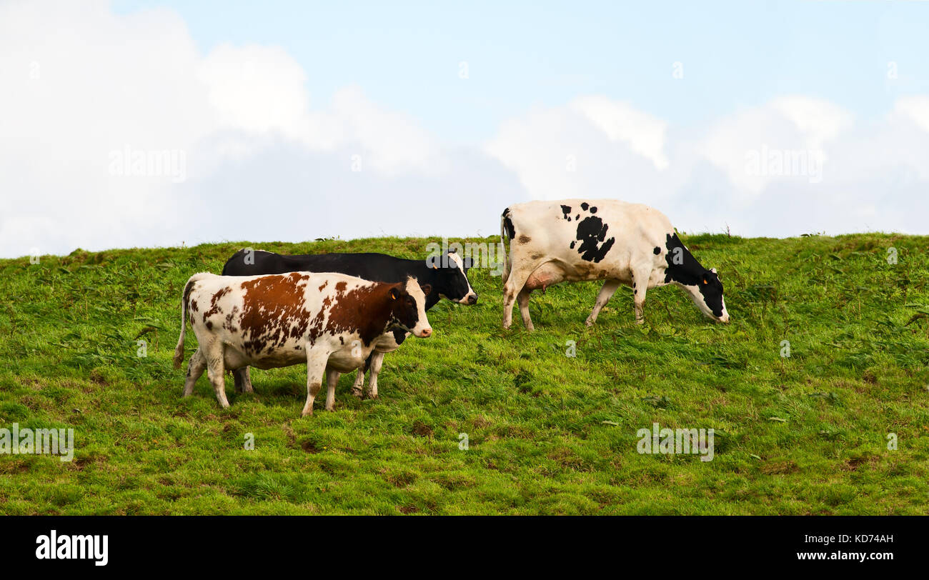 Three cows graze on the meadow in a sunny day - Stock Image