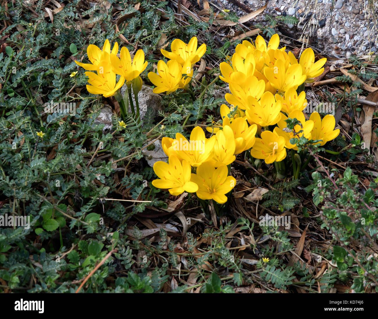 Yellow autumn crocus ( ? Sternbergia lutea ) emerging amongst roadside vegetation in a village on the island of - Stock Image