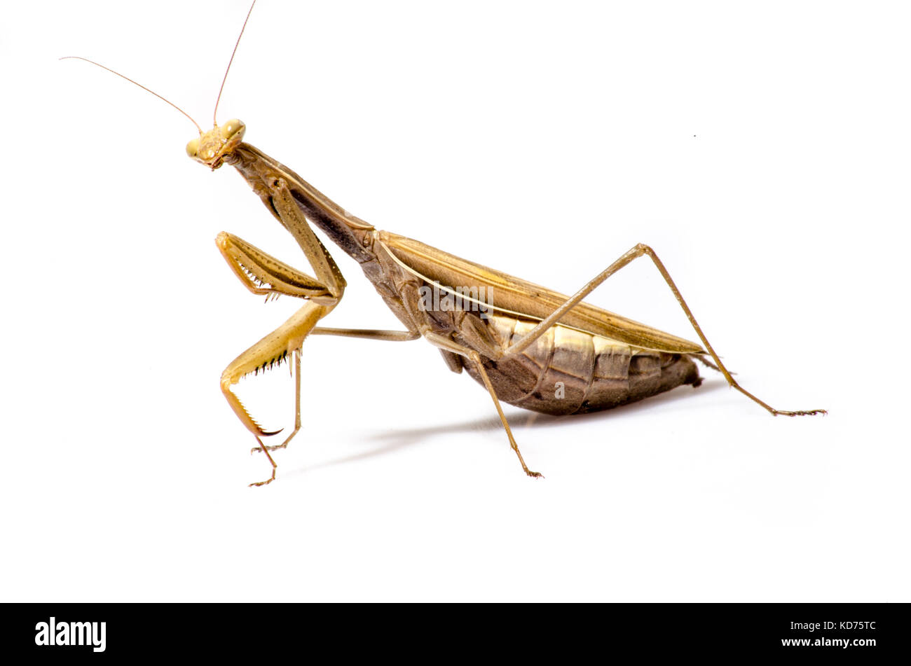 Wandering Violin Mantis, Gongylus gongylodes, in front of white background. - Stock Image