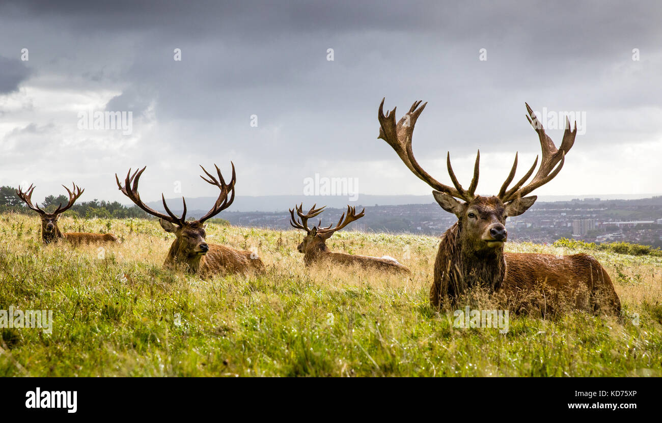 Mature red deer stags Cervus elaphus resting after heavy morning rain at Ashton Court above Bristol UK - Stock Image