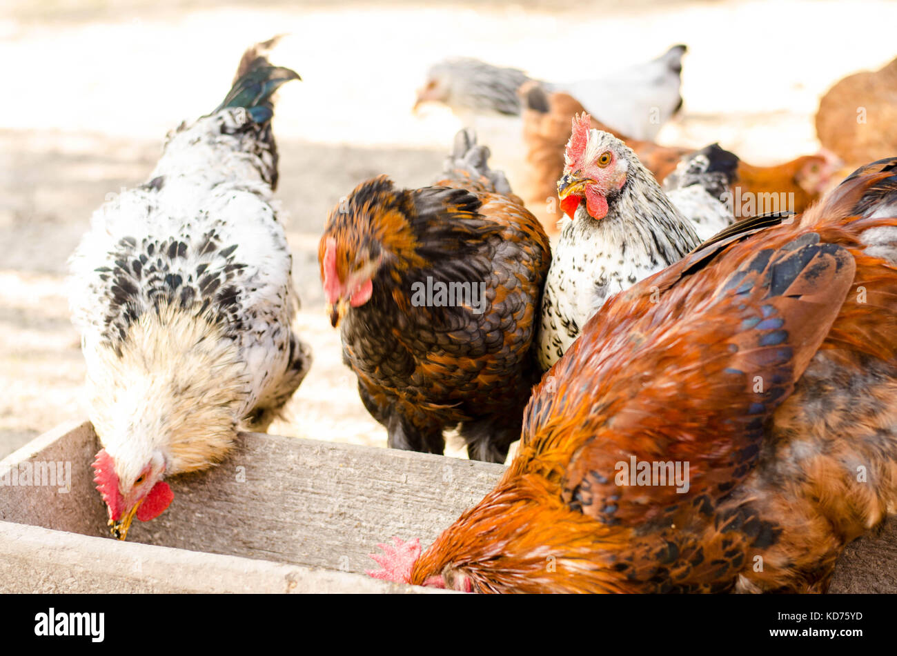 brown chicken eating from a trough. Stock Photo