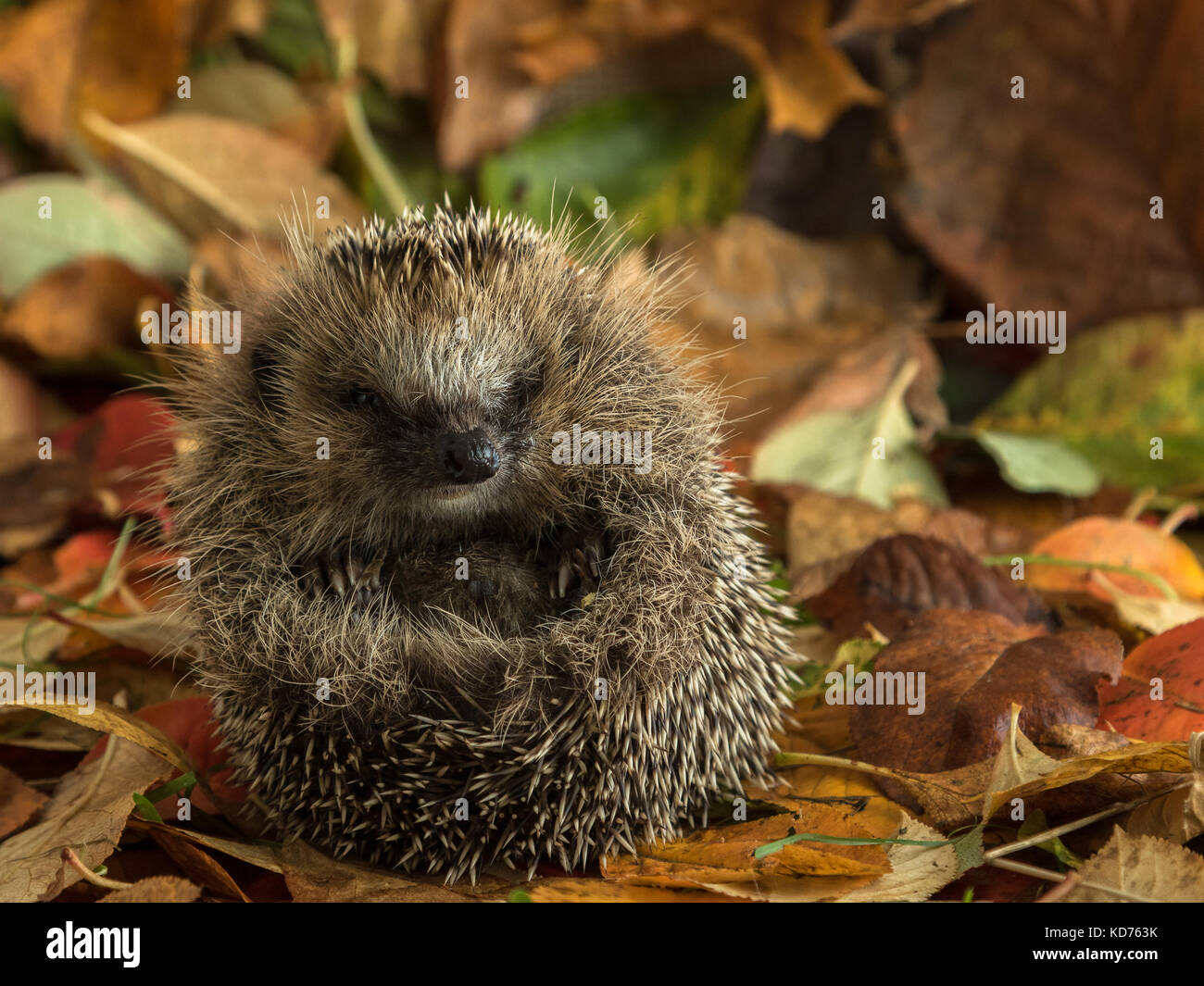 hedgehog curled up in autumn leaves - Stock Image