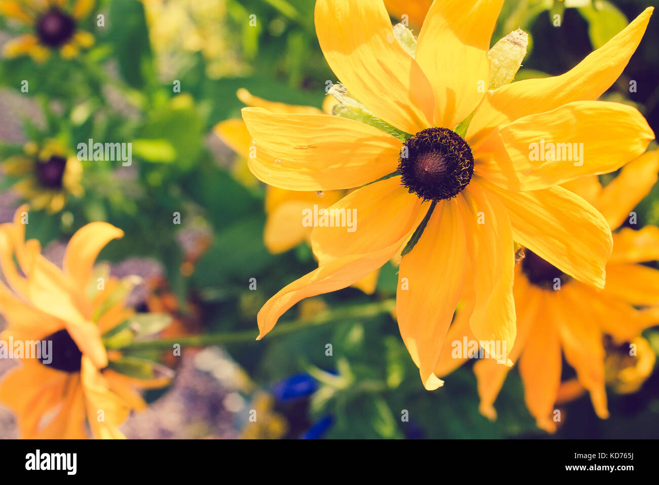 Yellow Rudbeckia with brown centers. Also called Coneflowers, Black-eyed-Susans, Leuchtender Sonnenhut - Stock Image