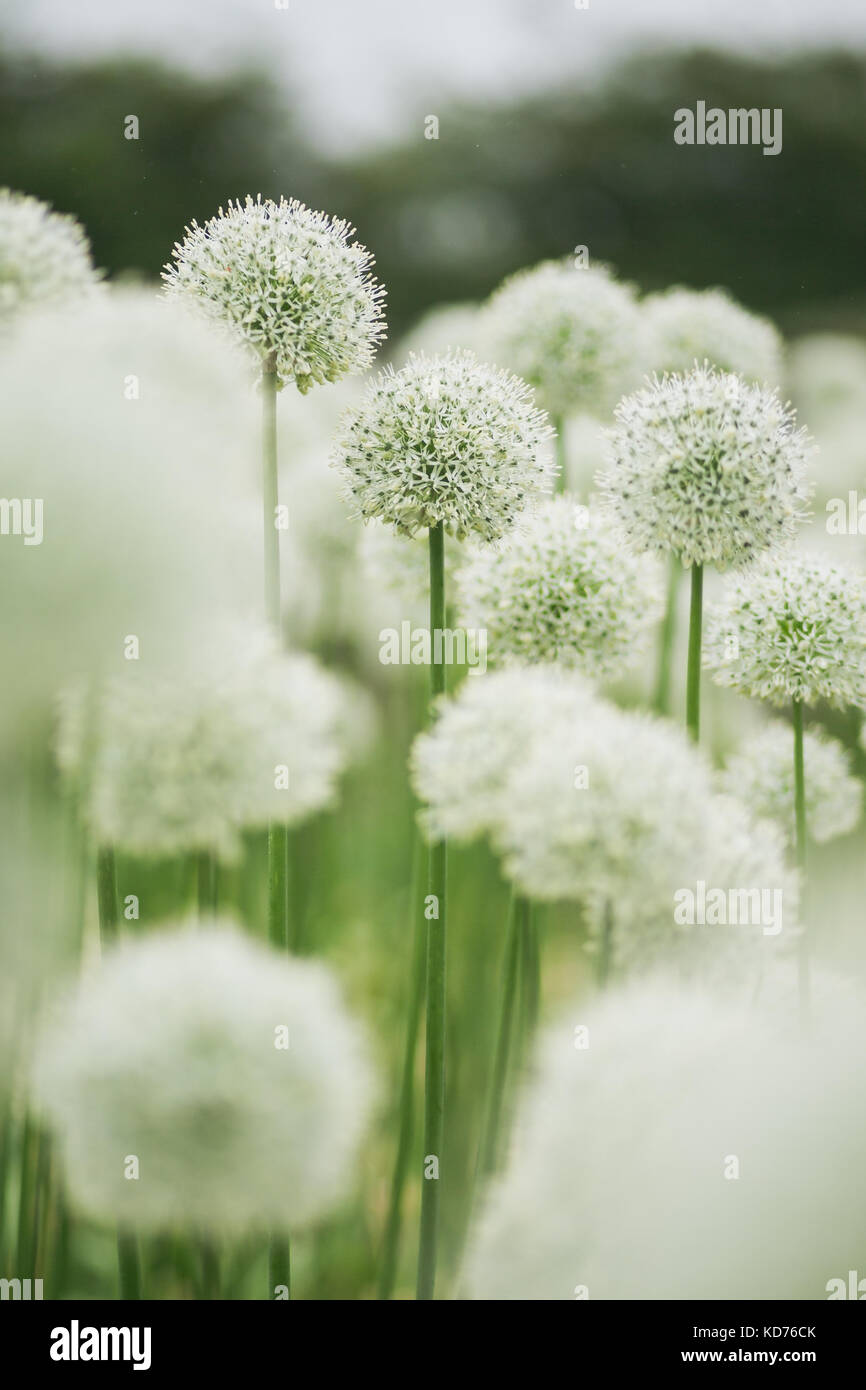 White Alliums Flower Portrait Grown In Masses On A Flower Farm For