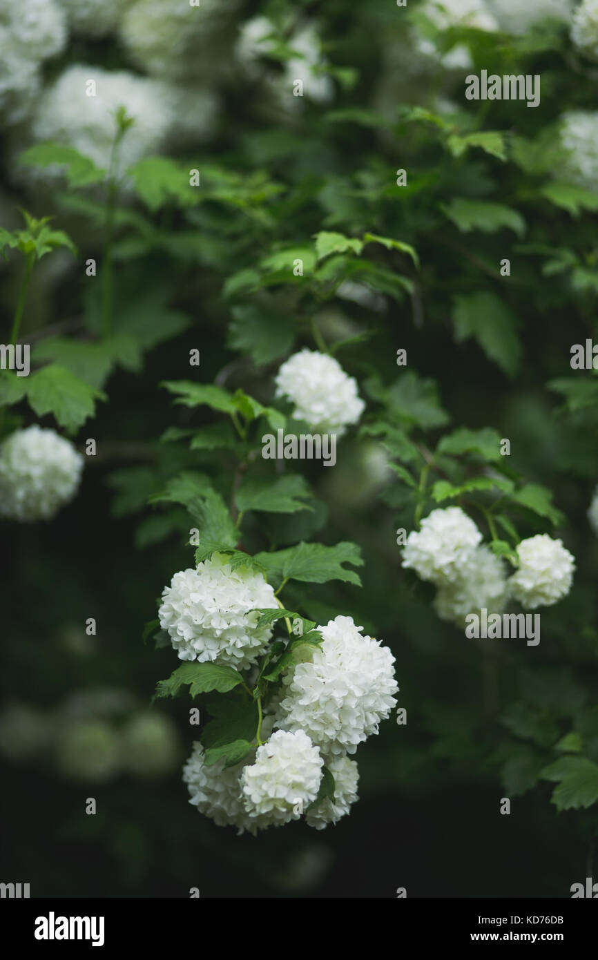 White ball shape flowers stock photos white ball shape flowers viburnum opulus white guelder rose growing as a big bush on a flower farm mightylinksfo
