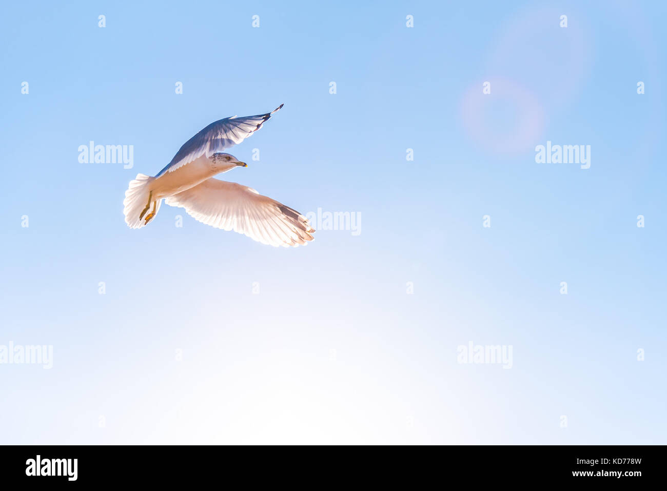 Seagull in flight with sunshine and blue sky - Stock Image