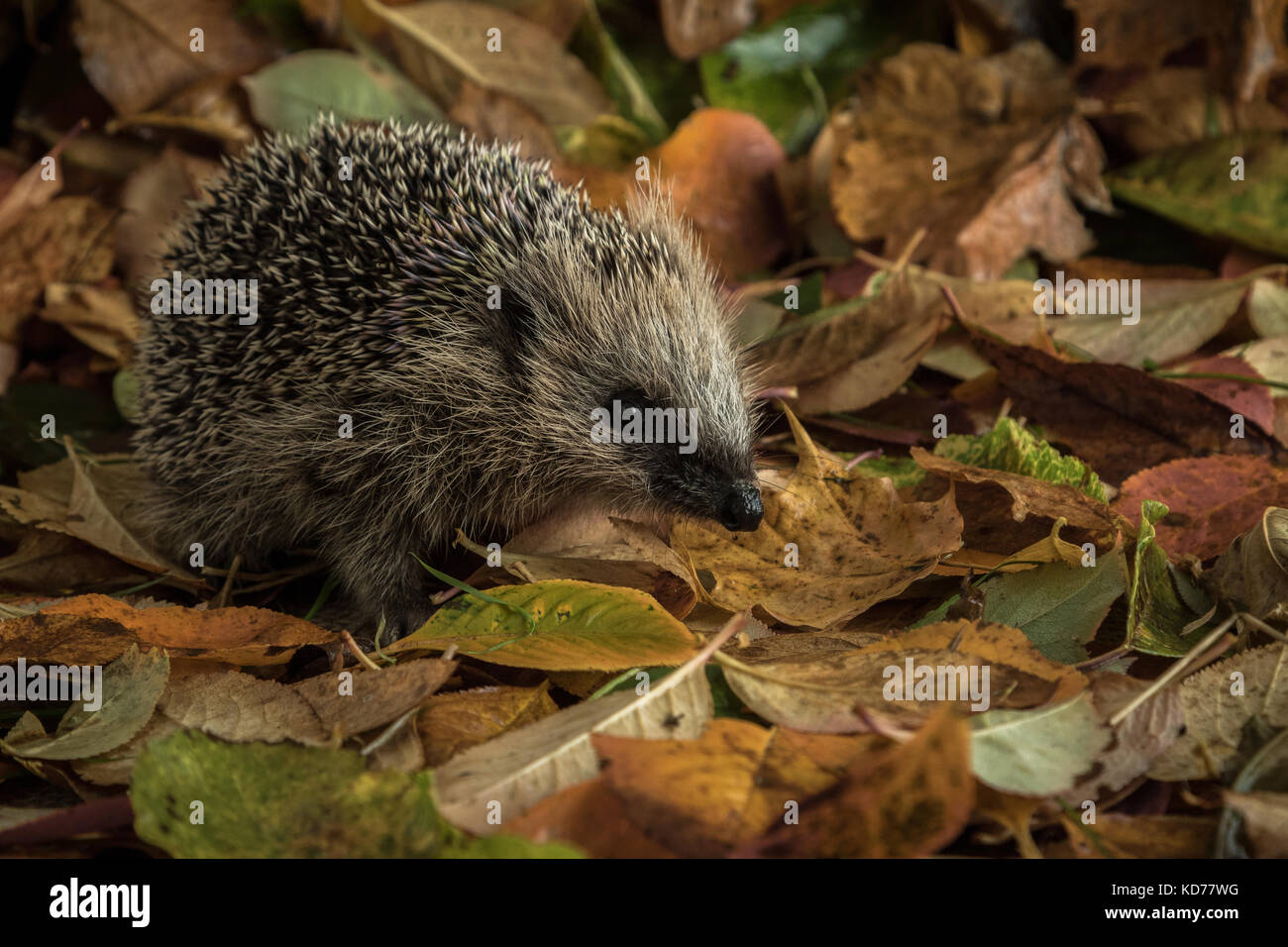 hedgehog in autumn leaves - Stock Image