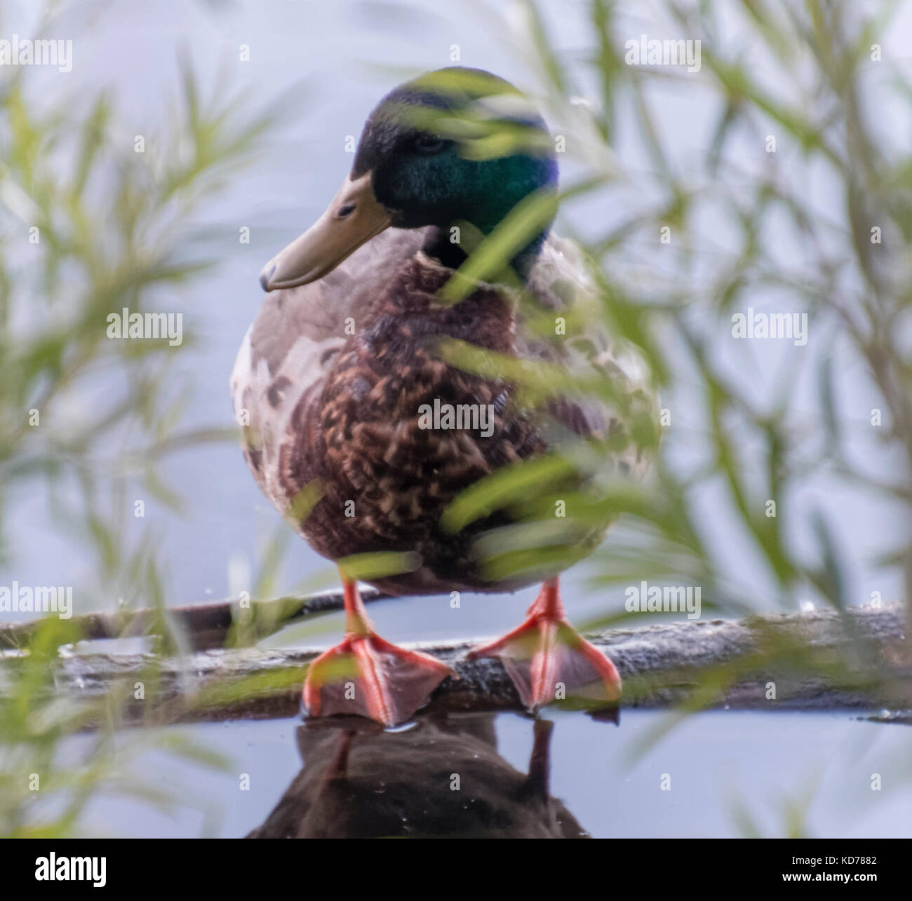 A duck standing on a partially submerged log in Minnesota. - Stock Image