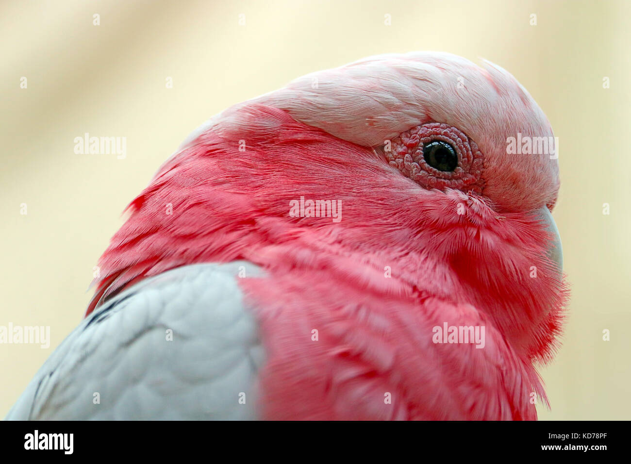 head of a pink galah cockatoo bird in profile view - Stock Image
