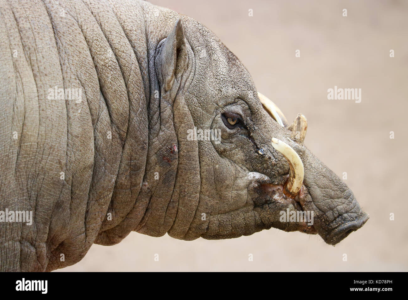 wrinkled head of a male babirusa pig boar with long curved canine tusks - Stock Image