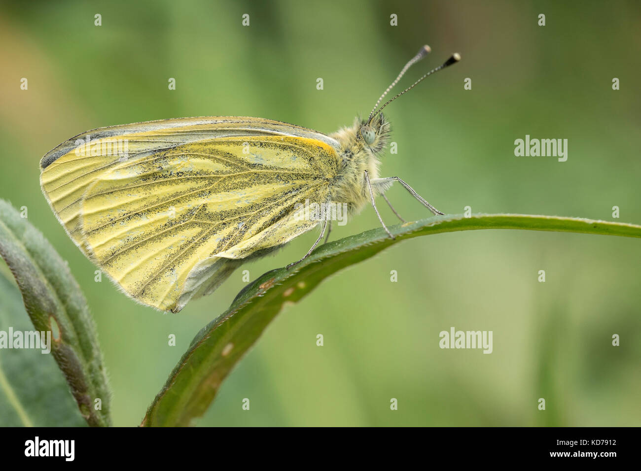 Green Veined White Butterfly (Pieris napi) resting on blade of grass. Tipperary, Ireland - Stock Image