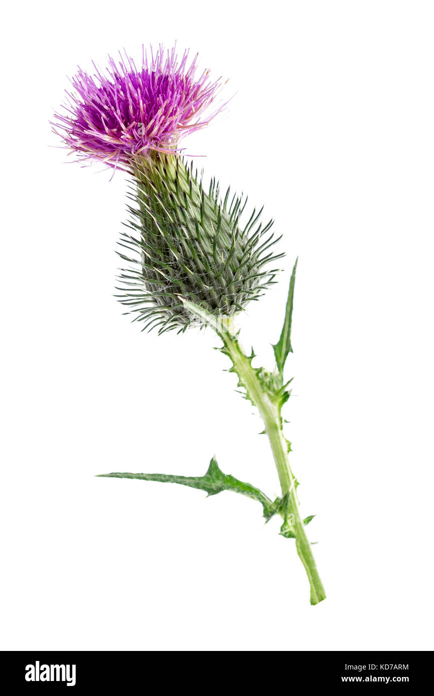 Milk Thistle plant Silybum marianum herbal remedy. Scotch thistle, Cardus marianus, Blessed milk thistle , Saint - Stock Image