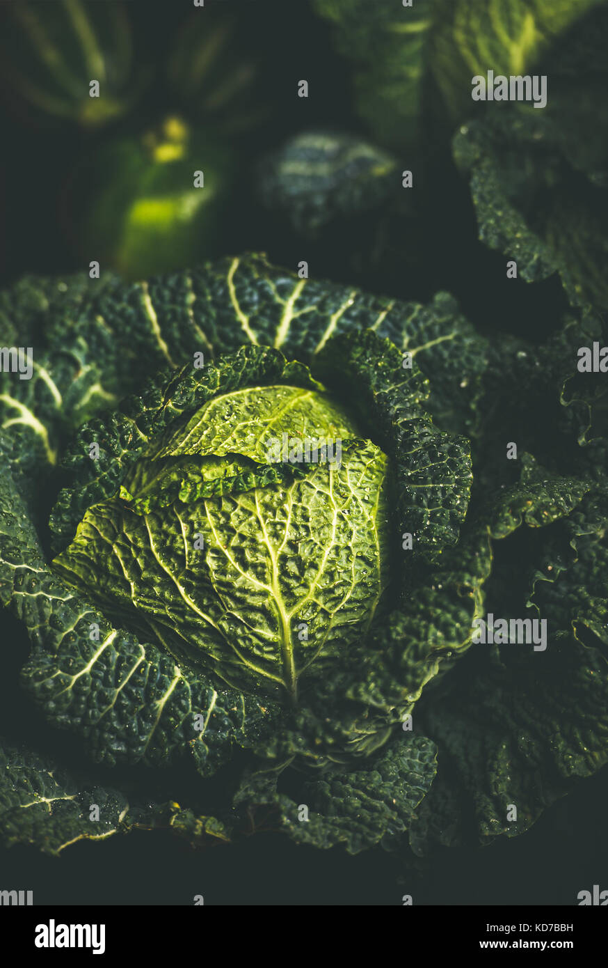 Close-up of raw fresh green cabbage texture and background - Stock Image