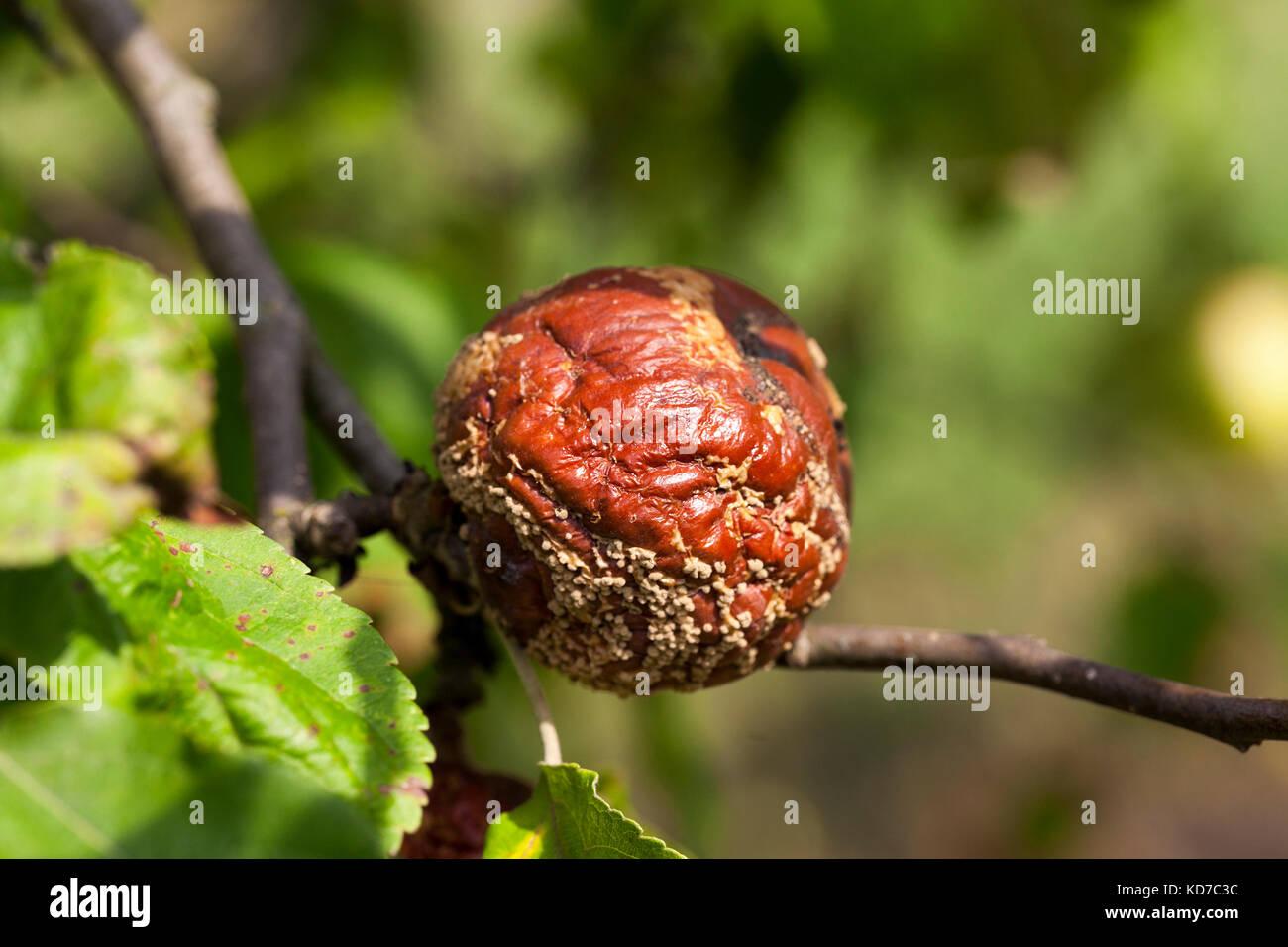 fruit garden harvest - Stock Image