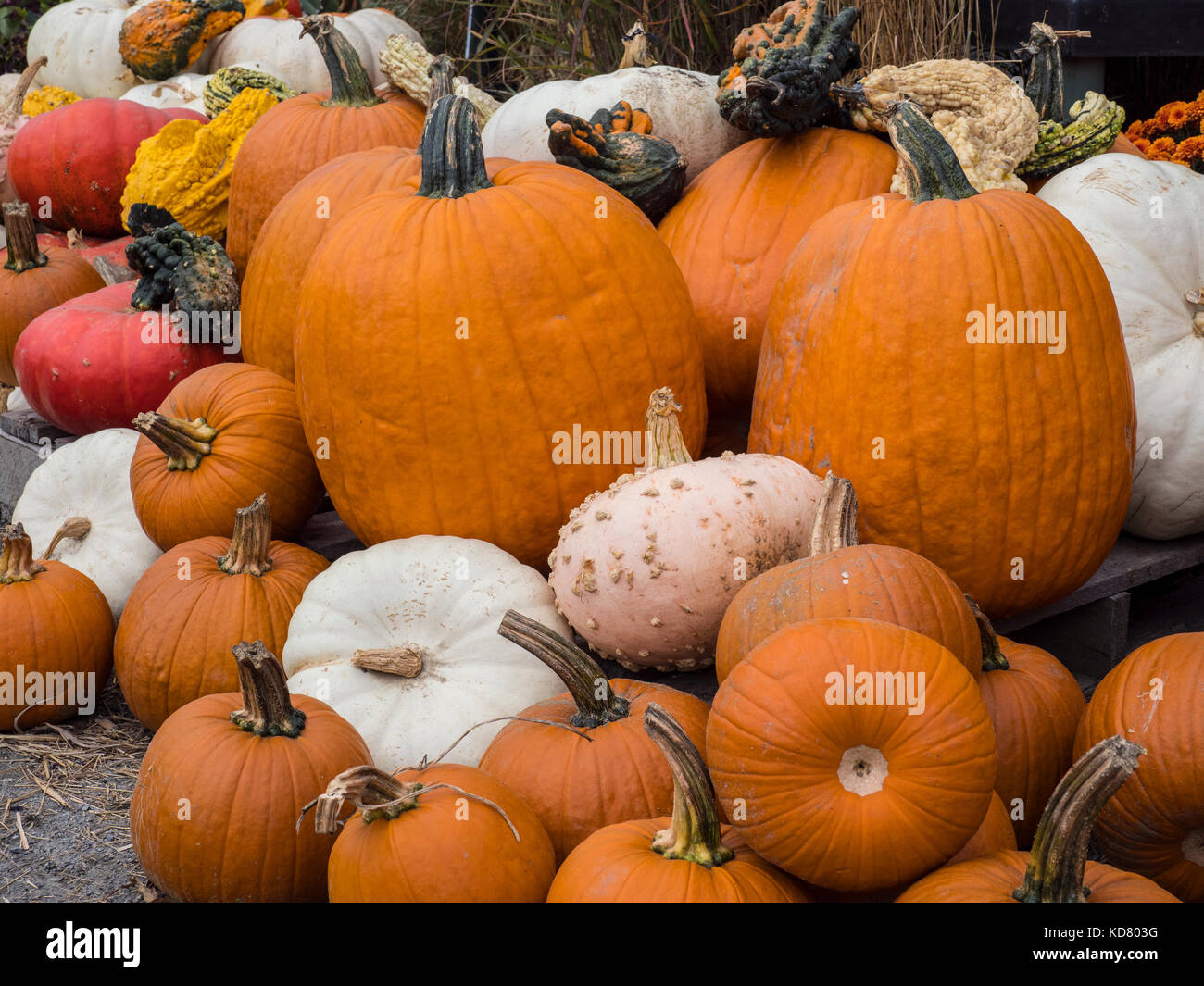 Pumpkins, My Sister's Garden, South Londonderry Vermont. - Stock Image